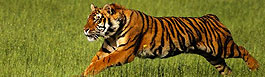 Tiger, India Wildlife Tours
